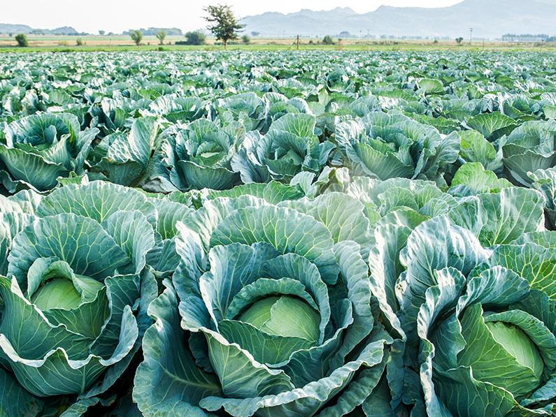 Cabbage Optima