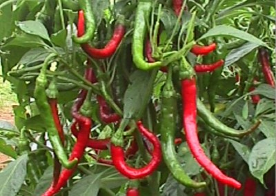 LONG SLIM CAYENNE Hot Pepper