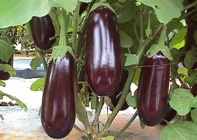 NAPOLI F1 Hybrid Eggplant