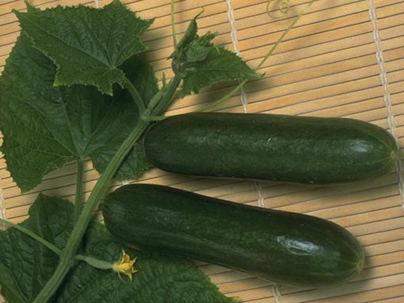 how to grow beit alpha cucumber