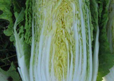 TABALUGA F1 Hybrid Chinese Cabbage
