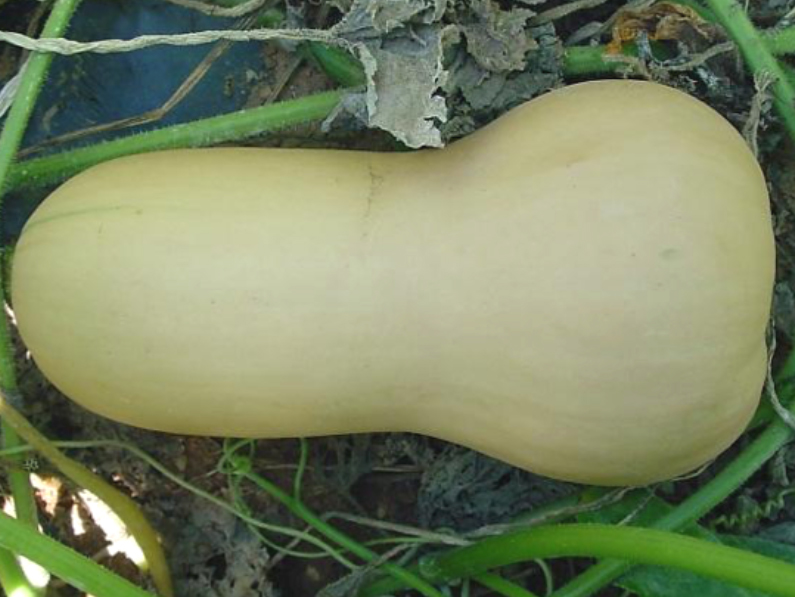 Mature butternut squash looks like