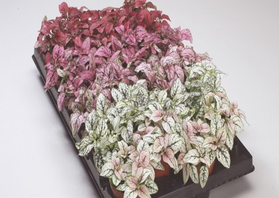 Hypoestes phyllostachya Confetti Compact
