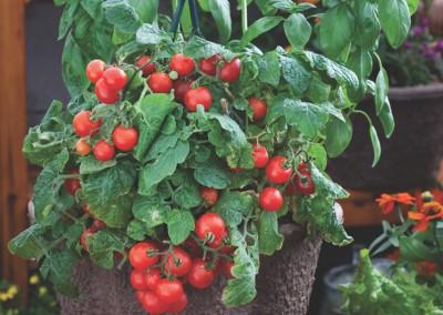 Lycopersicum esculentum Red Robin