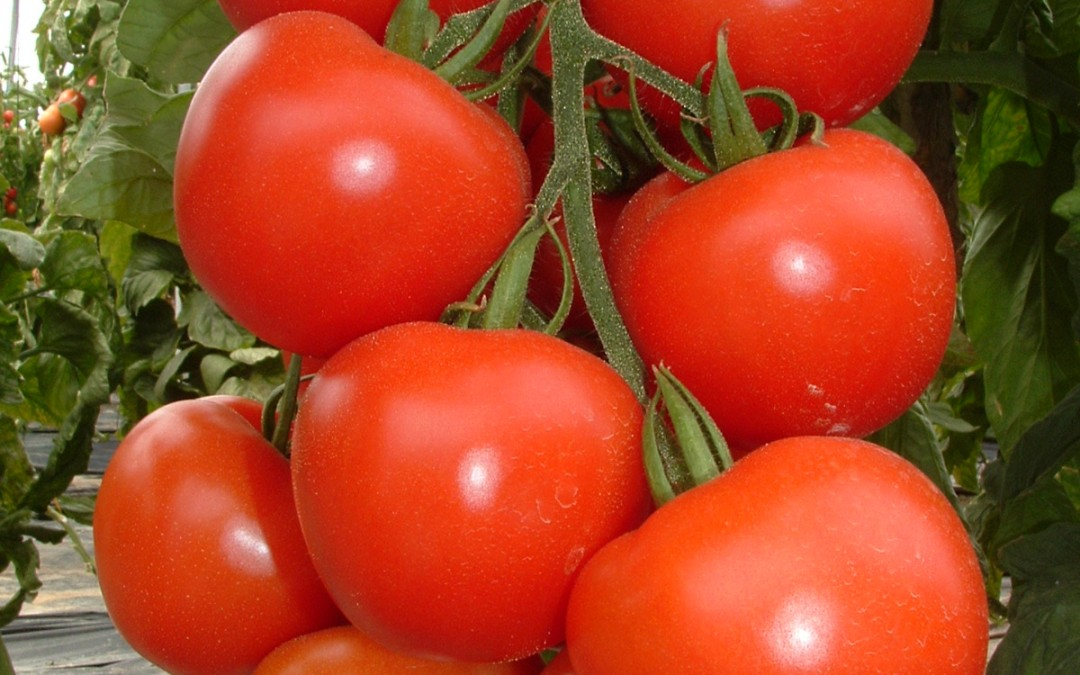 Managing water requirements for tomatoes its all in the balance