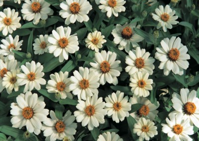 Zinnia x hybrida Profusion Knee High