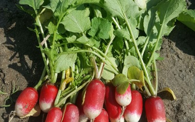 Radish, French Breakfast – it is all in the name