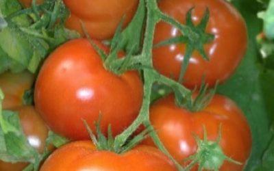 Tomato Inga*