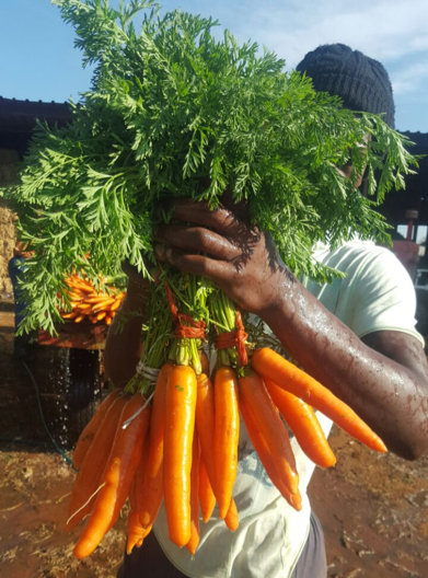Nativa carrots for sweet success