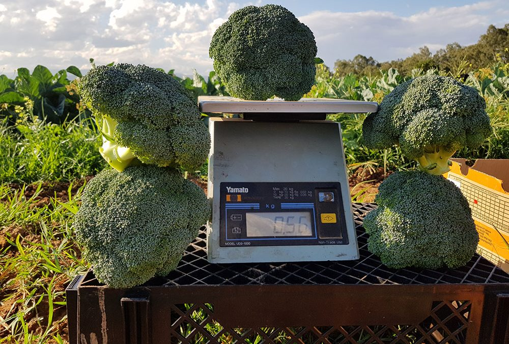 New broccoli Ares* shows huge potential