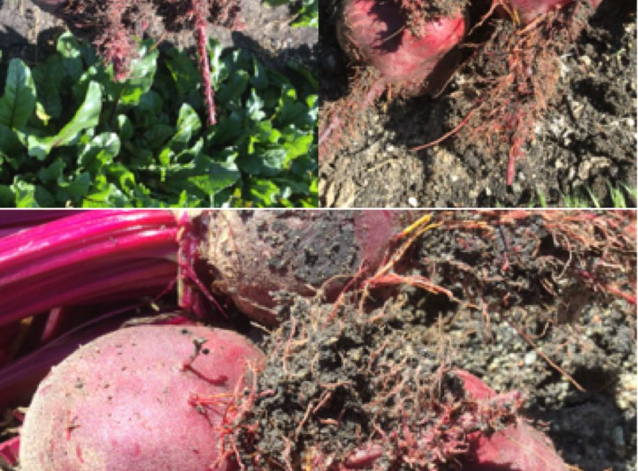 """Solution Monday: Rhizomania or """"crazy root"""" on beetroot"""