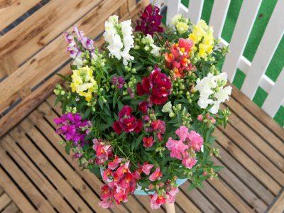 Antirrhinum majus nanum pubilum F1 Floral Showers