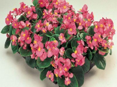 Begonia semperflorens F1 Ambassador