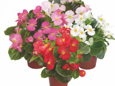 Begonia semperflorens F1 Emperor