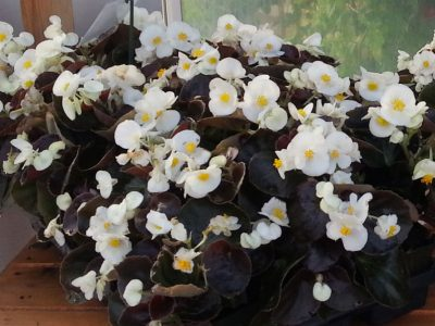 Begonia semperflorens F1 Senator