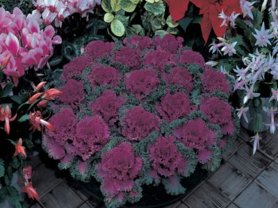 Brassica oleracea F1 Nagoya