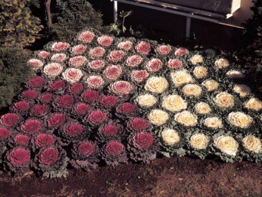 Brassica oleracea F1 Osaka