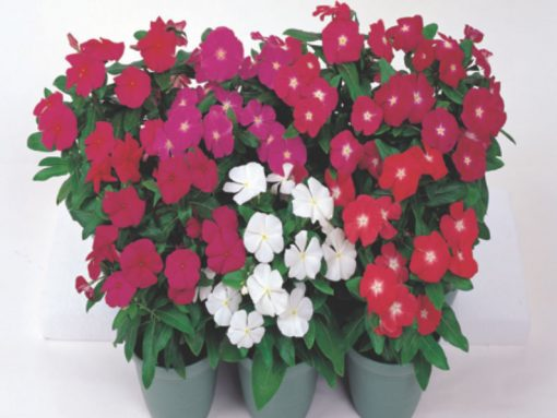 Catharanthus roseus Victory
