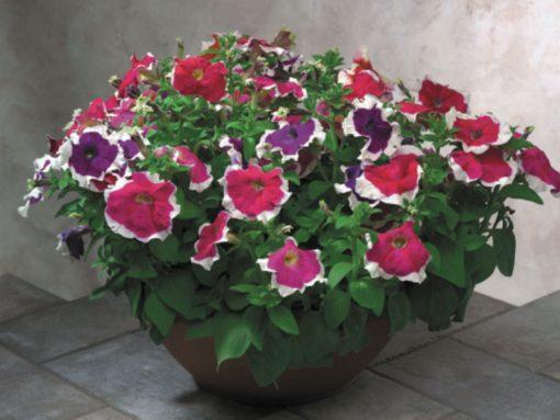 Petunia grandiflora F1 Hulahoop