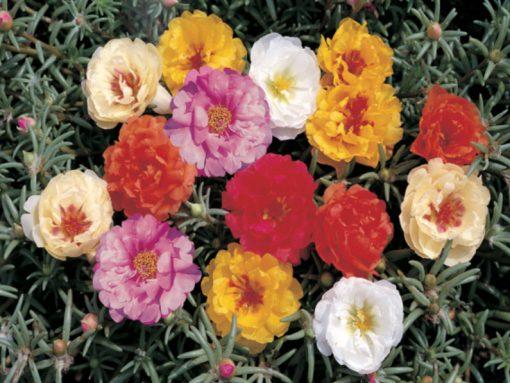 Portulaca grandiflora F1 Sunseeker