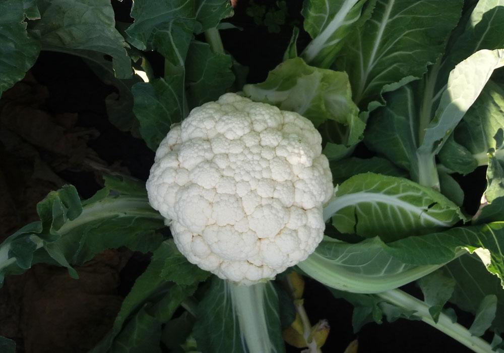 Cauliflower Merton optimised