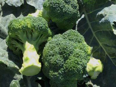 Naxos F1 Hybrid Broccoli New