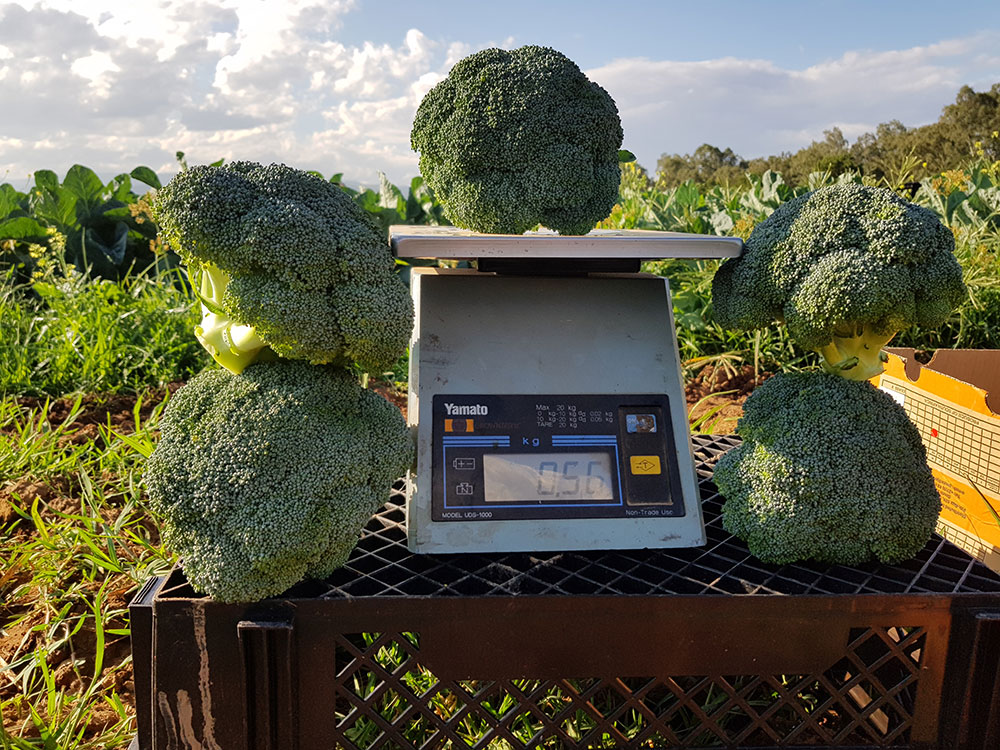 broccoli Ares