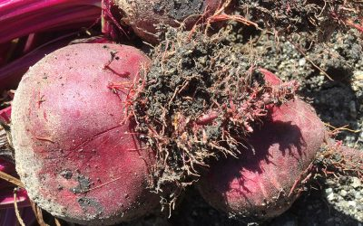 """Crazy Root"" on your beetroot"