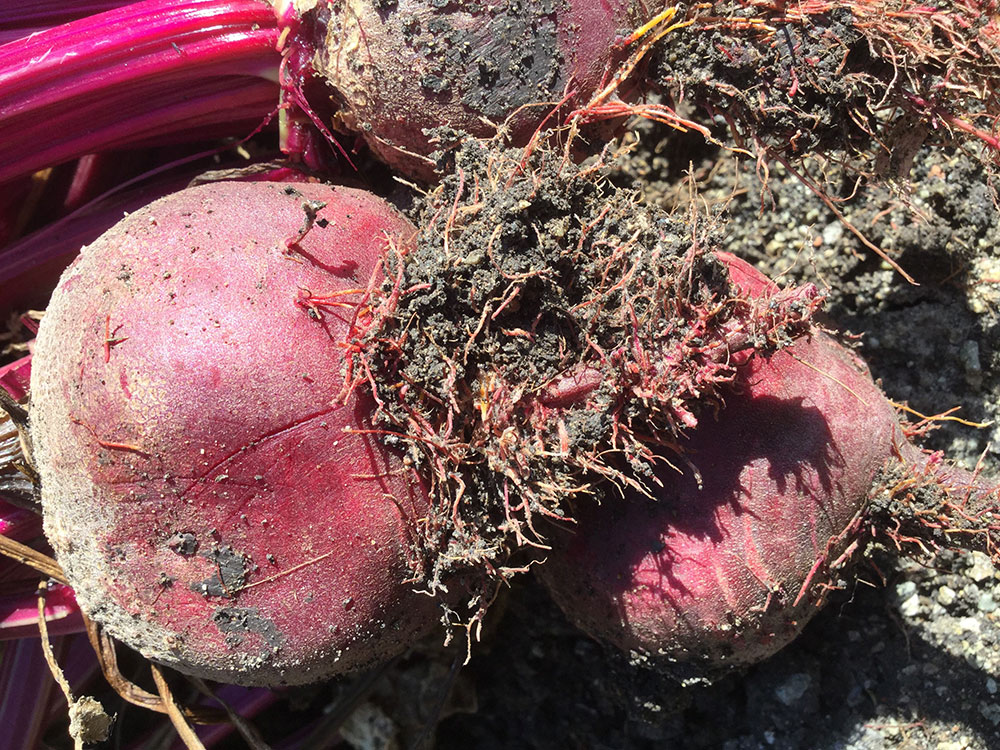 Rhizomania on beet 2