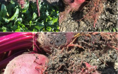 "Solution Monday: Rhizomania or ""crazy root"" on beetroot"