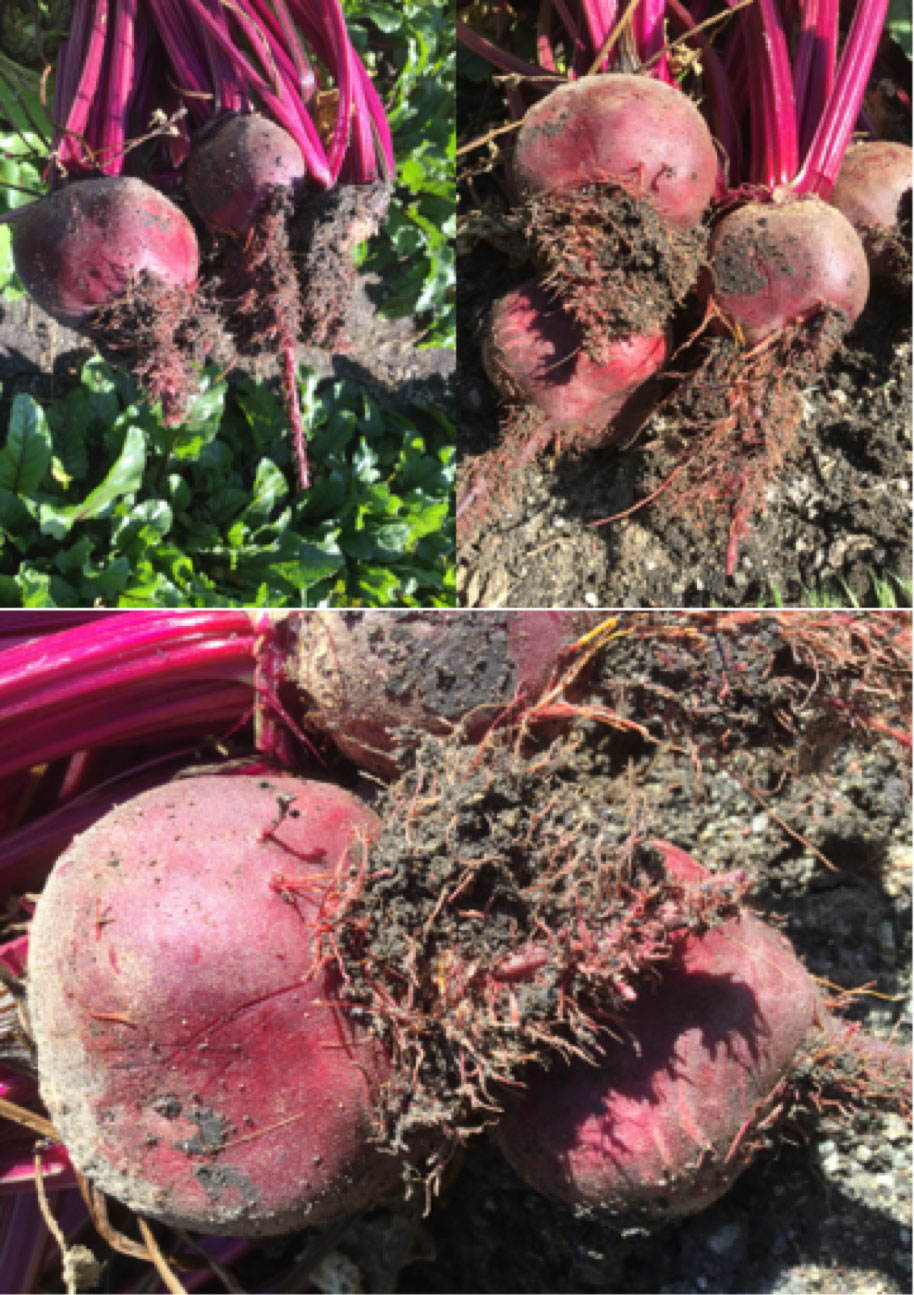 Rhizomania on beet 3