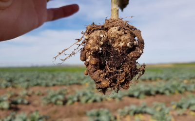 Brassica diseases – what to look out for