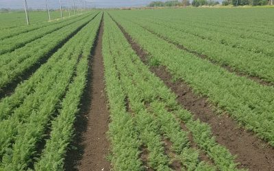 Carrot, Carvora* is taking the market by storm