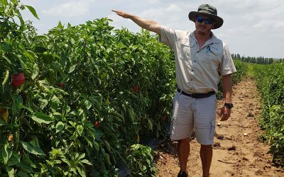Cherokee* Sweet Pepper – quality fruit in open field production
