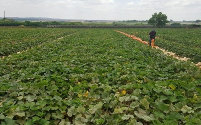 Pluto – #1 Selling butternut variety in South Africa