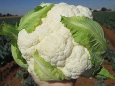 Twister F1 Hybrid Cauliflower New