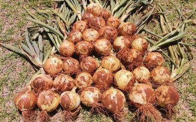 Hoshi – short day onion with good adaptability